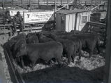 Wilhelm Meyer cattle